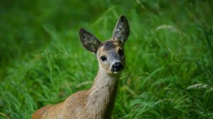 Preview wallpaper deer, grass, muzzle, young