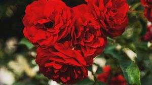 Preview wallpaper branches, buds, petals, red roses
