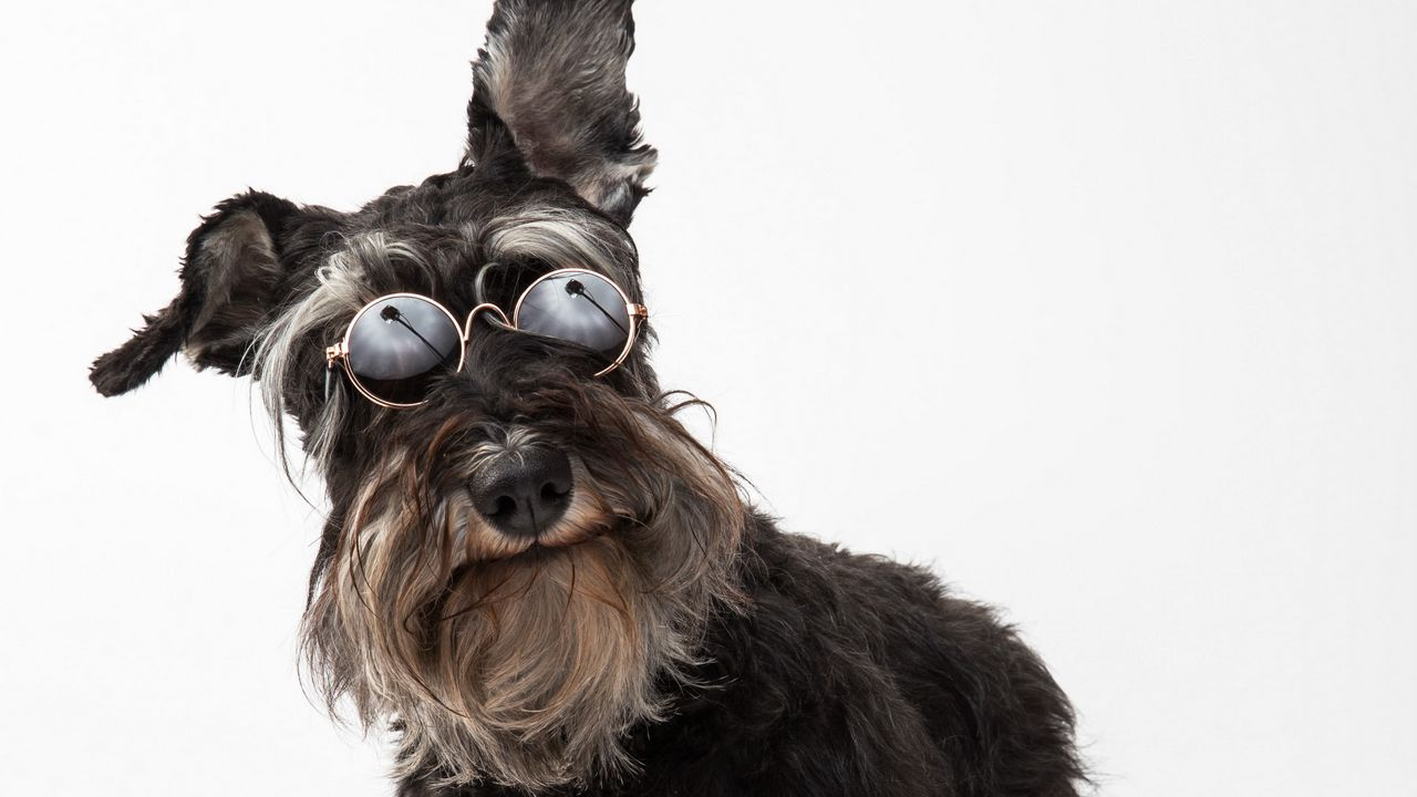schnauzer dog glasses pet