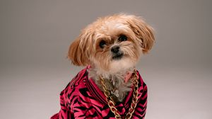 Preview wallpaper chain, dog, pet, shih-tzu, style