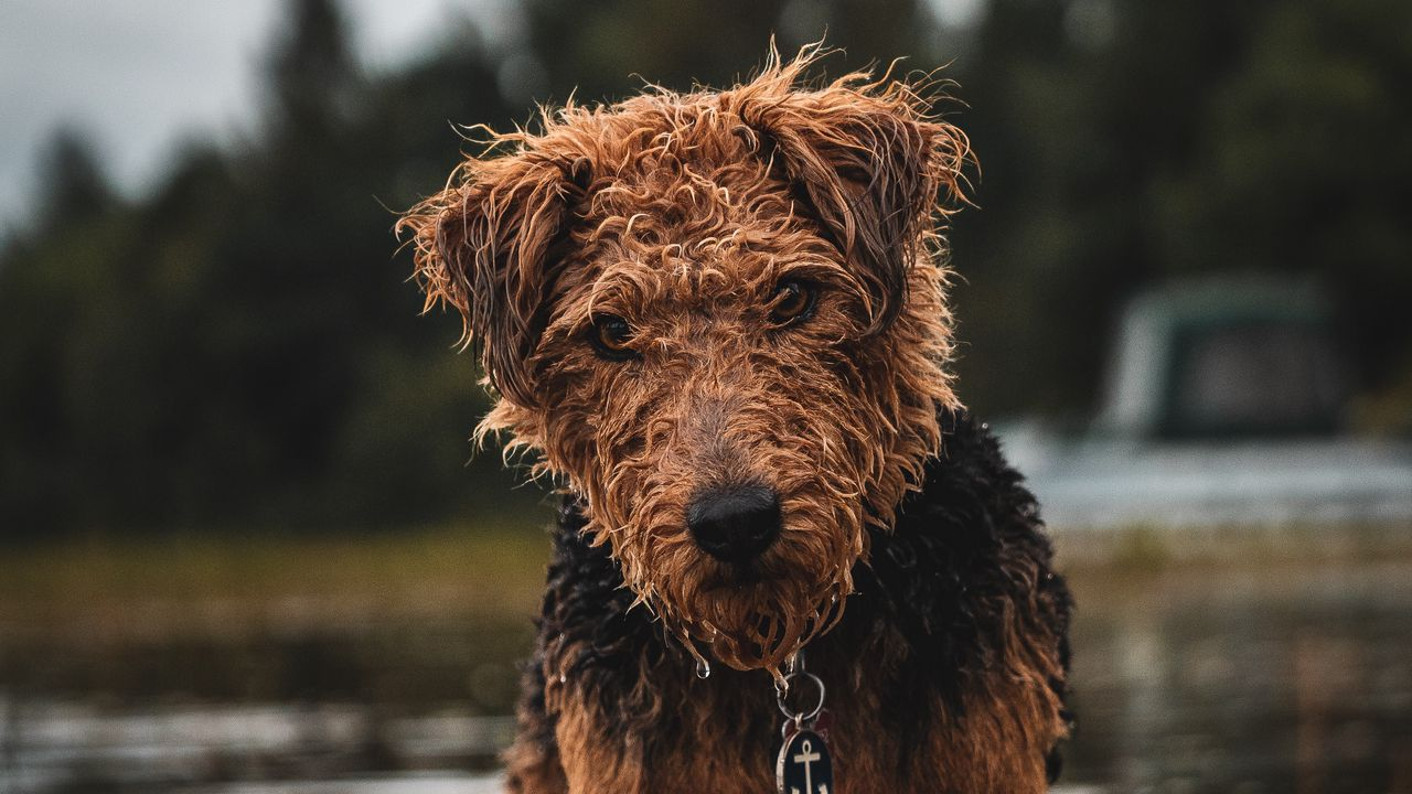 wet dog glance pet airedale