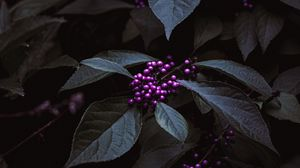 Preview wallpaper berries, bunches, leaves, plant, purple