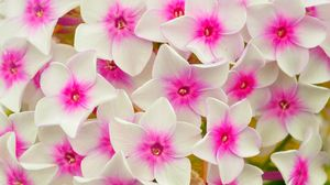 Preview wallpaper flowers, petals, phlox, pink