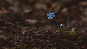 Preview wallpaper arenaria, blue, early, earth, flower, lonely, moss, needles, wild