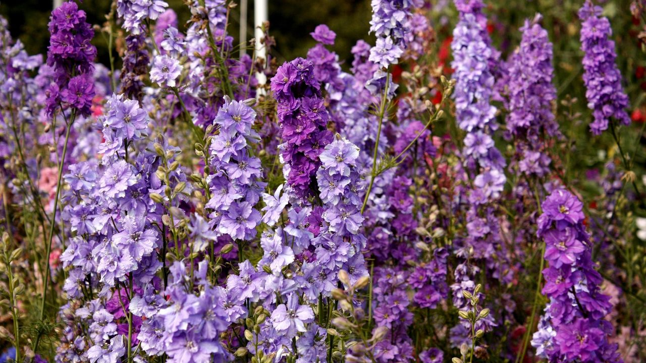flowers lilac tall delphinium meadow